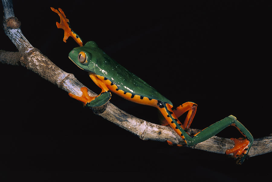 Splendid Leaf Frog Ecuador Photograph by Pete Oxford