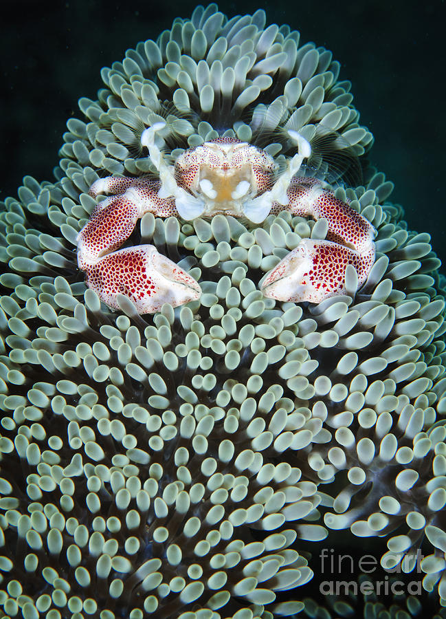 Anomura Photograph - Spotted Porcelain Crab In Anemone by Steve Jones