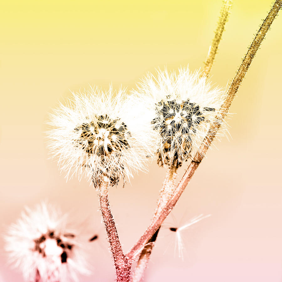 Abstract Mixed Media - Spring Dandelion by Tommytechno Sweden