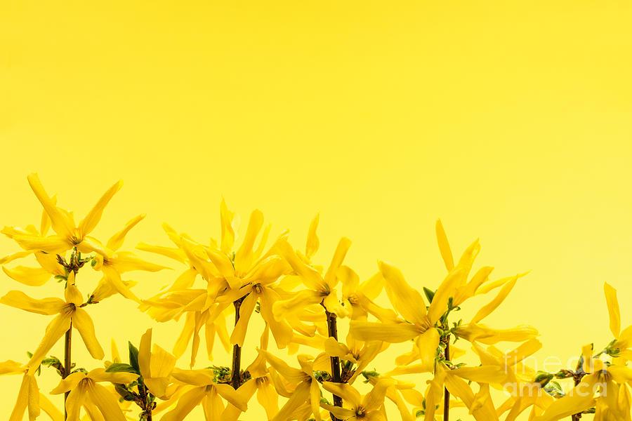 Yellow Photograph - Spring Yellow Forsythia  by Elena Elisseeva