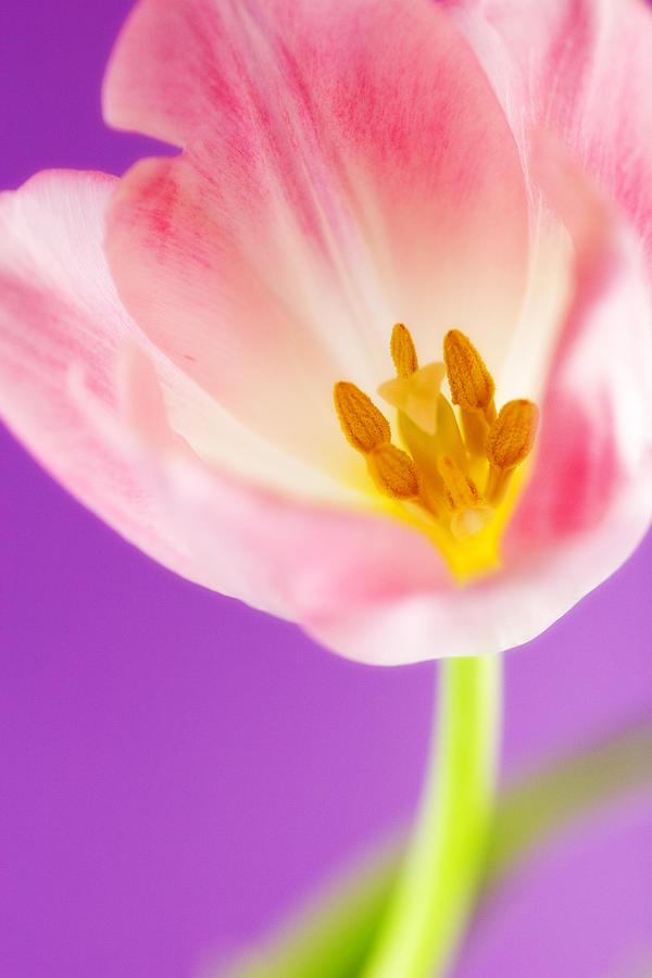Pink Photograph - Springtime Tulip by Carol Leigh