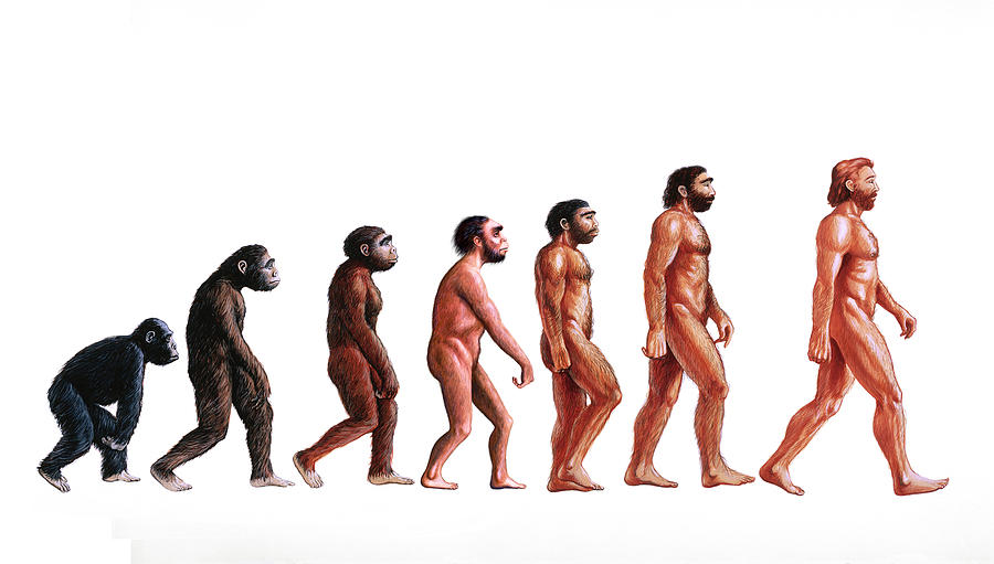 Australopithecus Afarensis Photograph - Stages In Human Evolution 1 by David Gifford