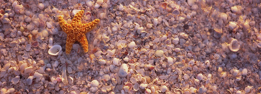Horizontal Photograph - Starfish On The Beach, Lovers Key State by Animal Images