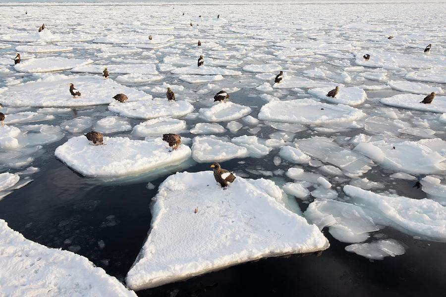 Accipitridae Photograph - Stellers Sea Eagles On Sea Ice by Dr P. Marazzi
