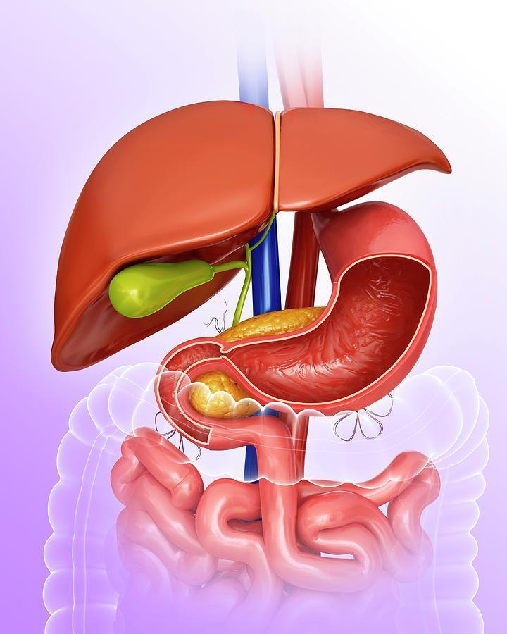 Artwork Photograph - Stomach And Internal Organs by Pixologicstudio