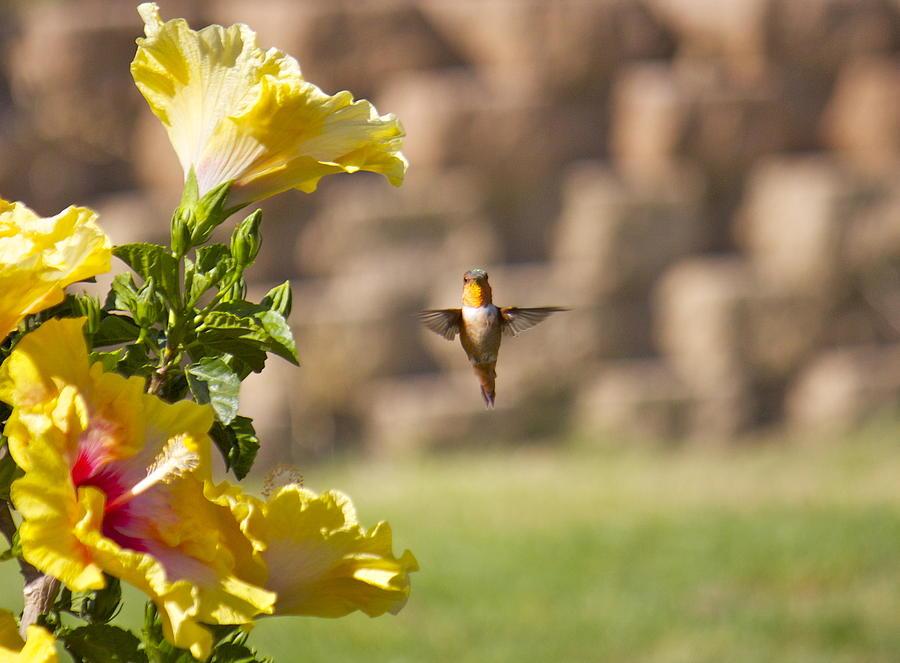 Hummingbird Photograph - Stop And Pose by Ashley Balkan