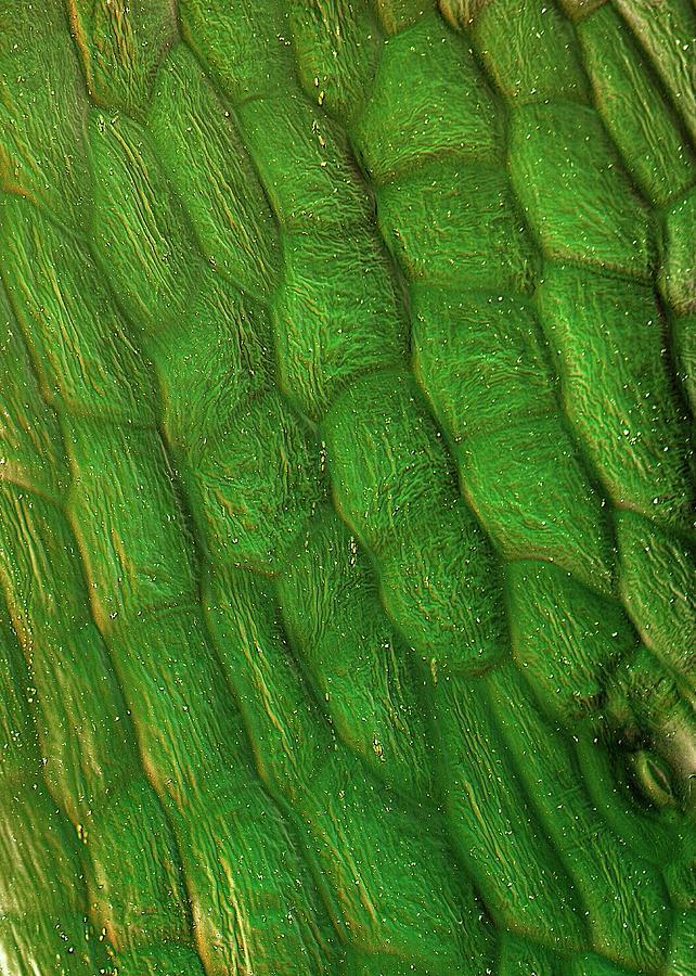 Beta Vulgaris Photograph - Sugar Beet Leaf Surface by Stefan Diller