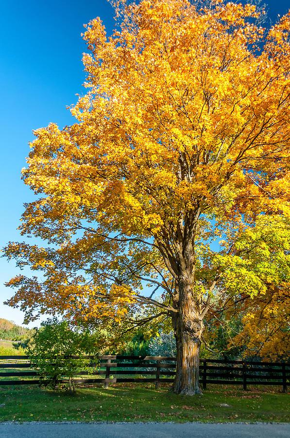 Ontario Photograph - Sugar Maple 2 by Steve Harrington