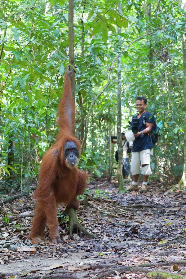 Animal Photograph - Sumatran Orangutan by Scubazoo