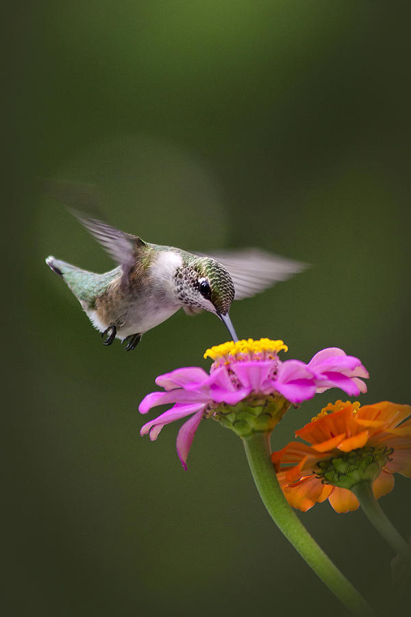 Hummingbirds Photograph - Summer Breeze by Christina Rollo