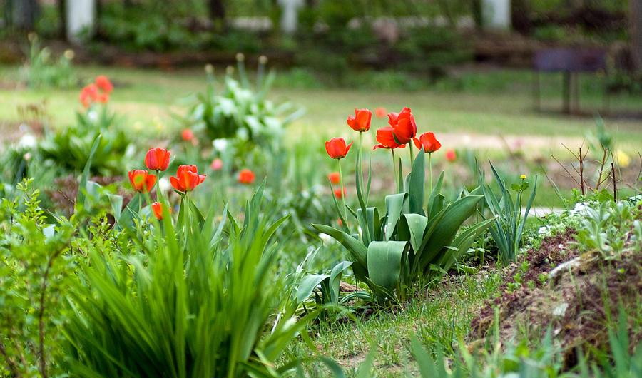 Tulips Photograph - Summer Garden by Viacheslav Savitskiy