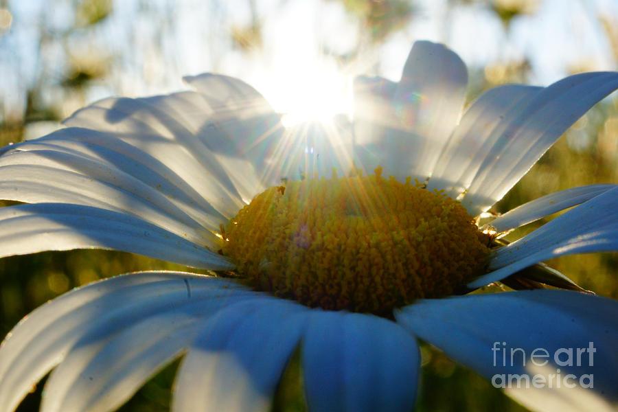 Daisy Photograph - Sun Flower by Kandids By Katy