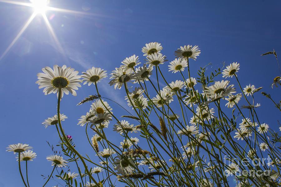 Floral.flower Photograph - Sun Lit Daisies by Brian Roscorla