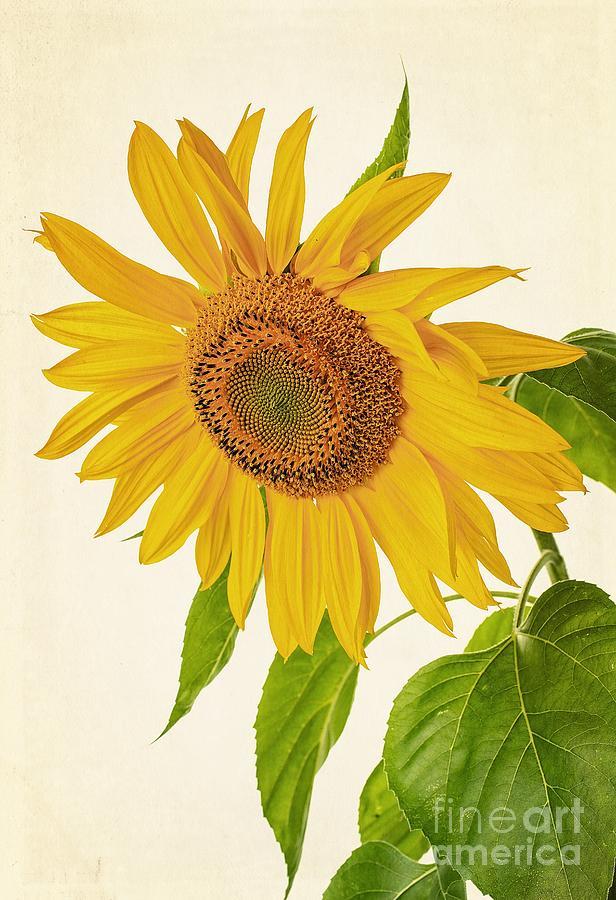 Sunflowers Photograph - Sunflower by Edward Fielding