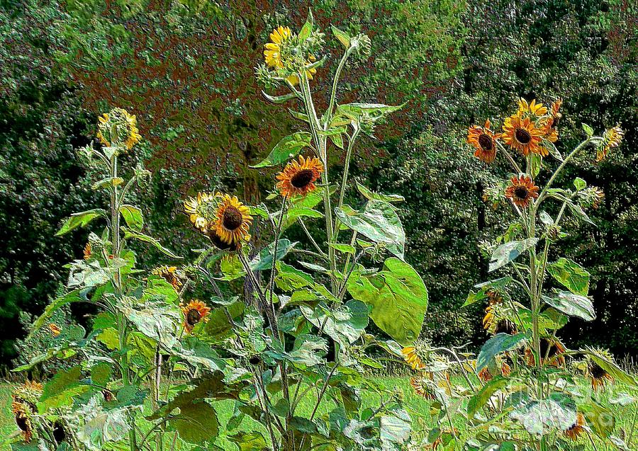 Sunflower Photograph - Sunflower Garden by Annette Allman