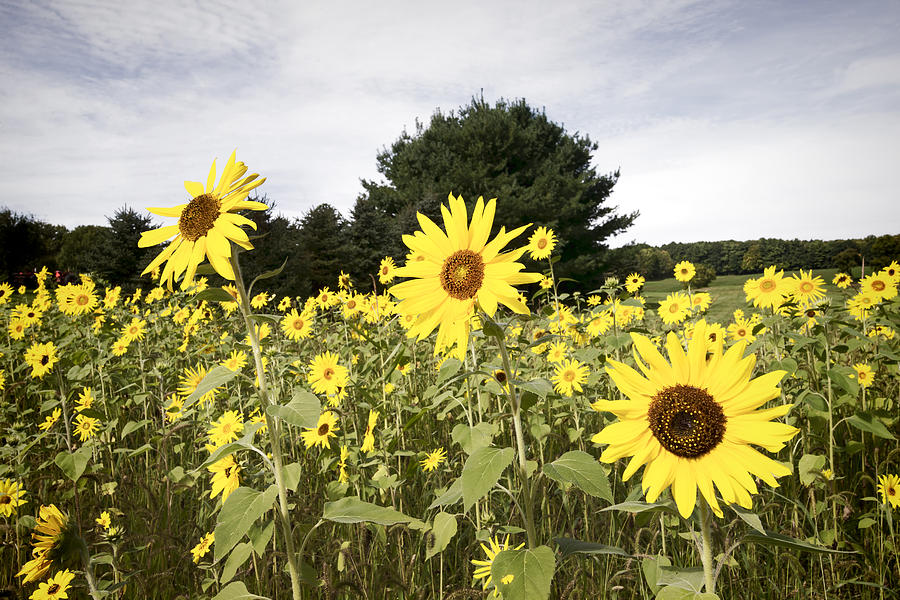 Sunflower Photograph - Sunflower Patch by Ray Summers Photography
