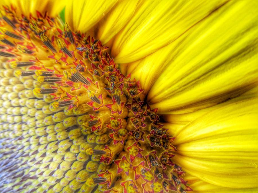 Sunflower Photograph - Sunrise by Marianna Mills