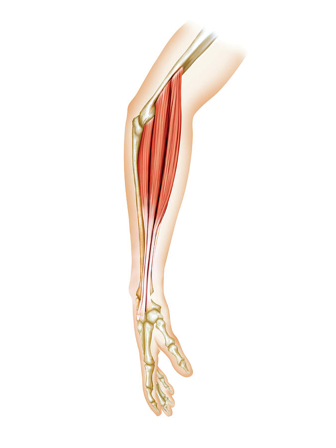 Anatomy Photograph - Superficial Muscles Of Forearm by Asklepios Medical Atlas