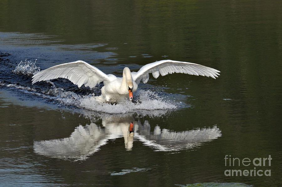 Animals Photograph - Swan Landing by Simona Ghidini