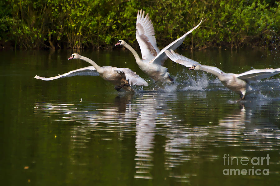 Swan Take-Off by Jeremy Hayden
