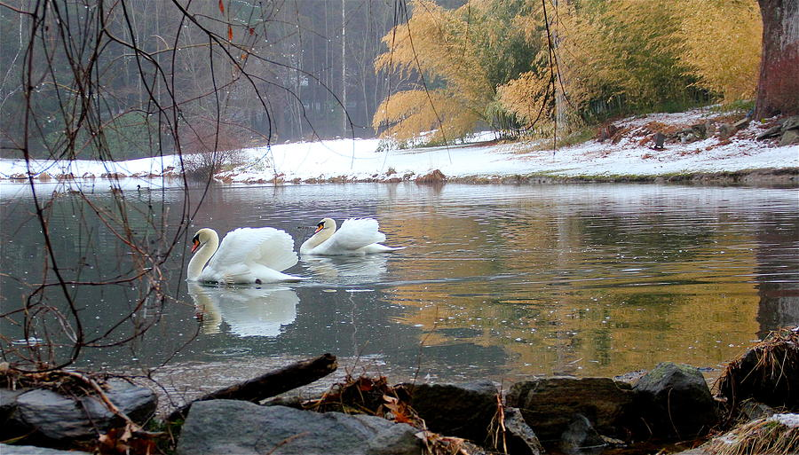 Swans Photograph - Swans In Winter by Chris Burke