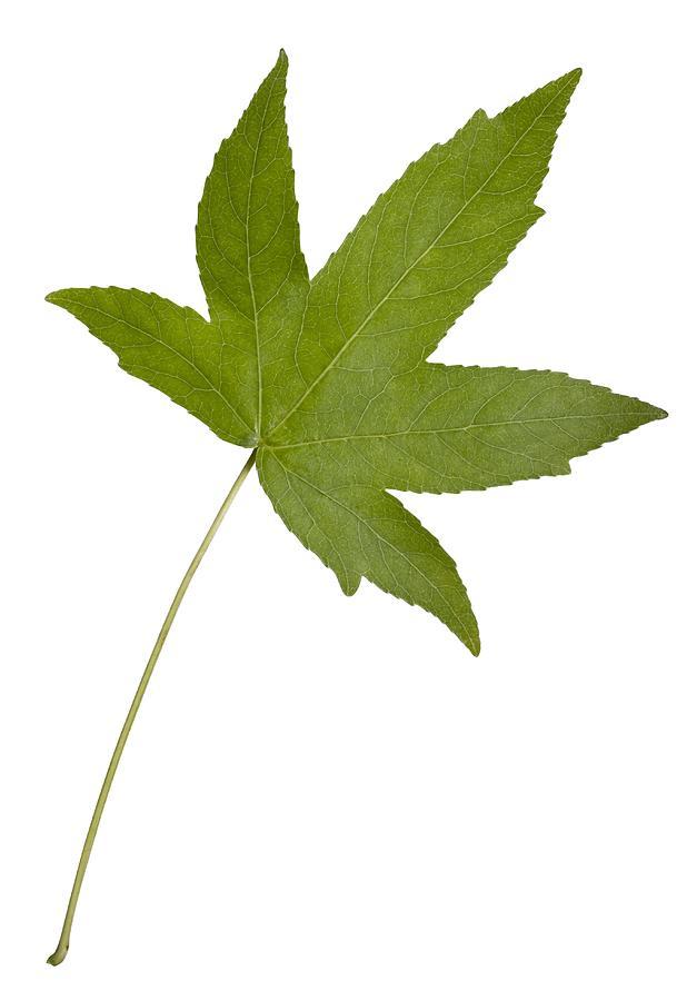 Close-up Photograph - Sweet Gum (liquidambar Styraciflua) Leaf by Science Photo Library