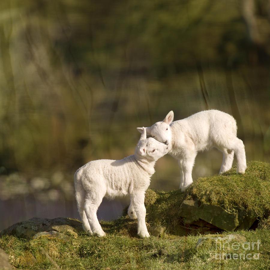 Sheep Photograph - Sweet Little Lambs by Angel Ciesniarska