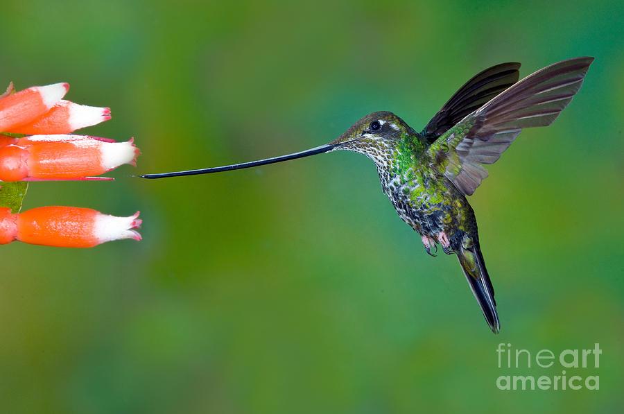 Animal Photograph - Sword-billed Hummingbird by Anthony Mercieca