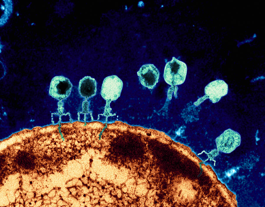 Bacteriophage Photograph - T-bacteriophages And E-coli by Eye of Science