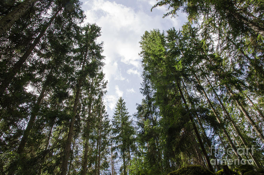 Against Photograph - Tall Spruce Trees by Kennerth and Birgitta Kullman