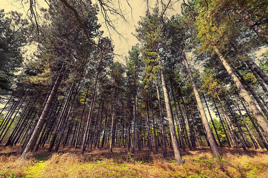 Beautiful Photograph - Tall Trees by Svetlana Sewell