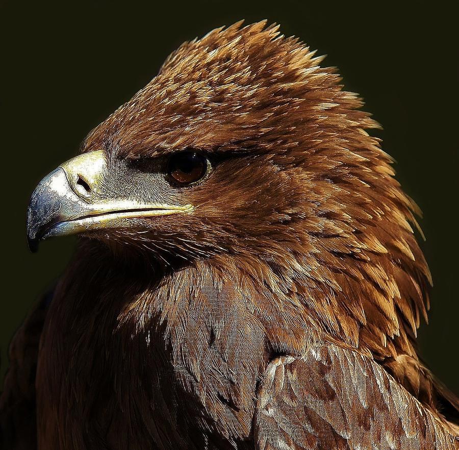 Bird Photograph - Tawny Eagle by Paulette Thomas