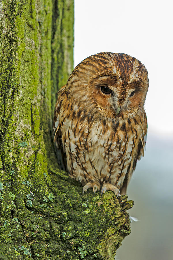Tawny Owl Photograph by George Cox
