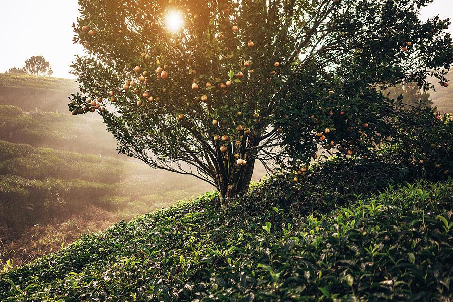 Tea Plantation In India Photograph by Oleh slobodeniuk