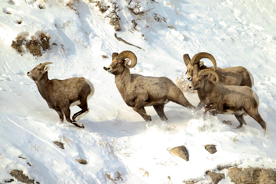 Big Horn Photograph - The Chase by Rob Daugherty