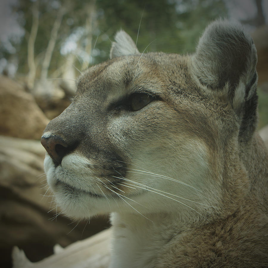 Animals Photograph - The Cougar 3 by Ernie Echols