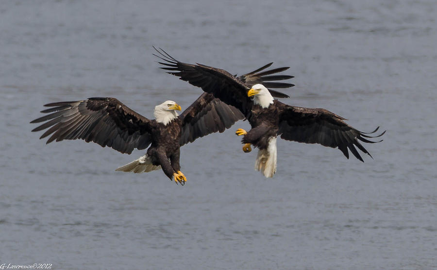 American Bald Eagles Photograph - The Dance  by Glenn Lawrence