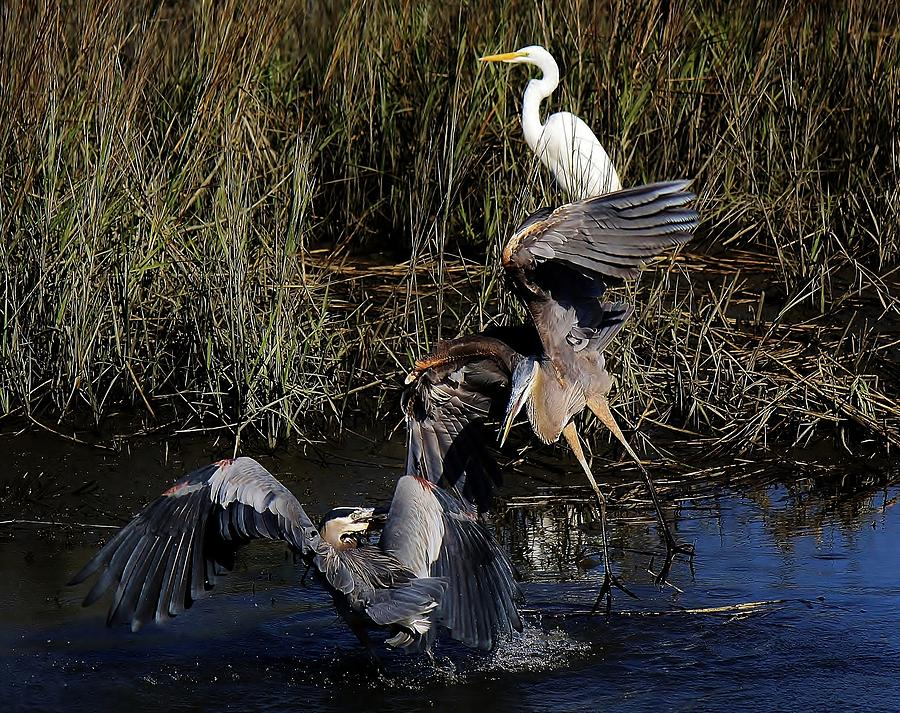 Great Blue Heron Photograph - The Dance by Paulette Thomas