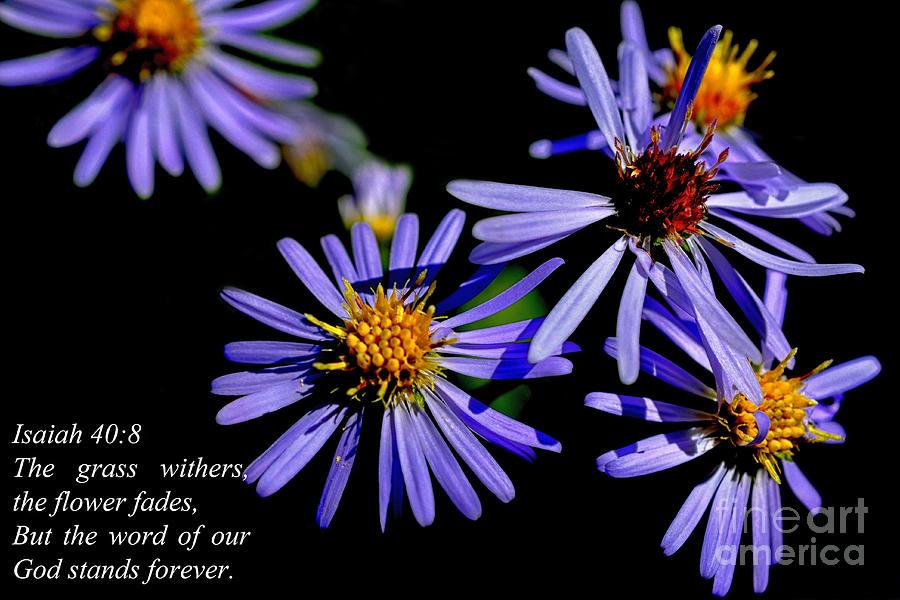 Bushy Aster Photograph - The Flower Fades by Thomas R Fletcher