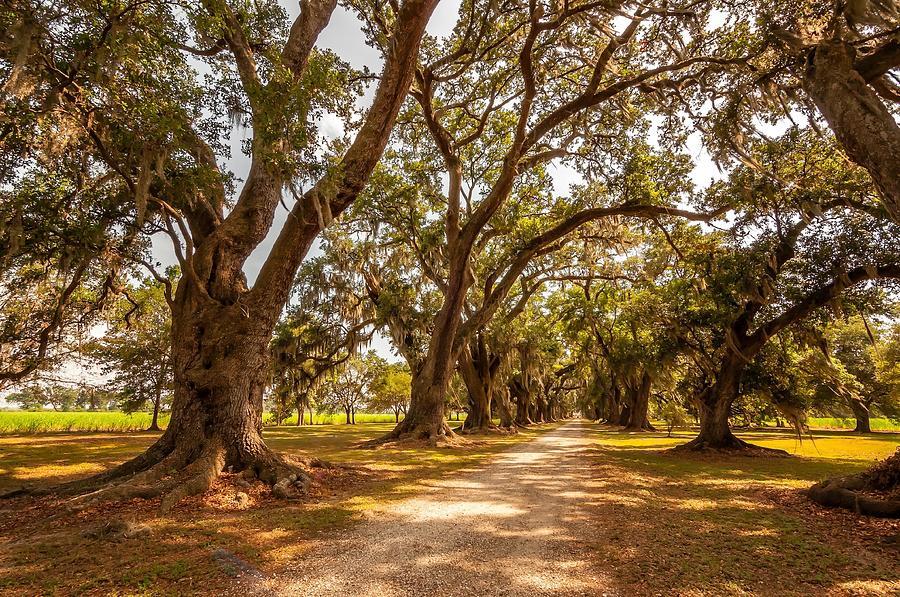 Evergreen Plantation Photograph - The Lane by Steve Harrington