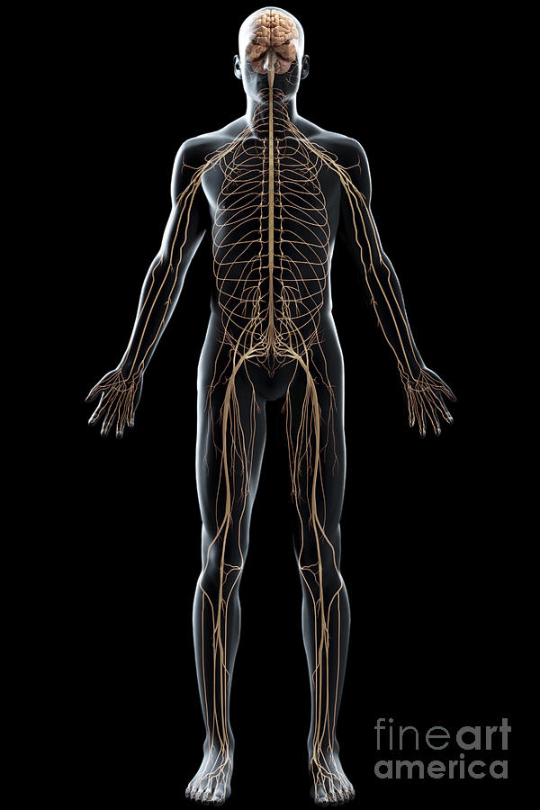 The Nerves Of The Body Photograph By Science Picture Co