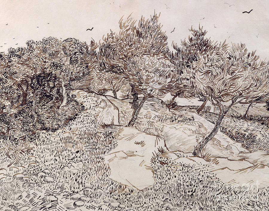 Vincent Van Gogh Drawing - The Olive Trees by Vincent Van Gogh