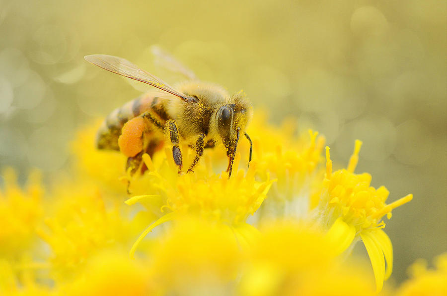 Honey Bee Photograph - The Pollinator by Fraida Gutovich