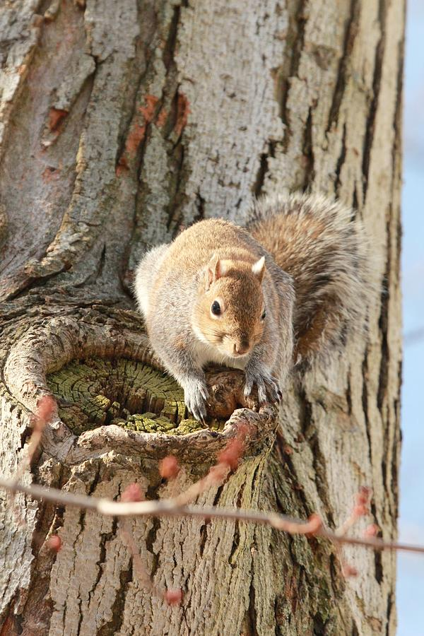 Grey Squirrel Photograph - The Visitor by Frederic Vigne