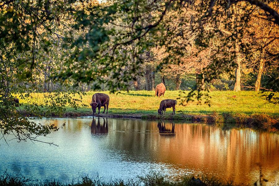 American Bison Photograph - Thirsty Bison by Sennie Pierson