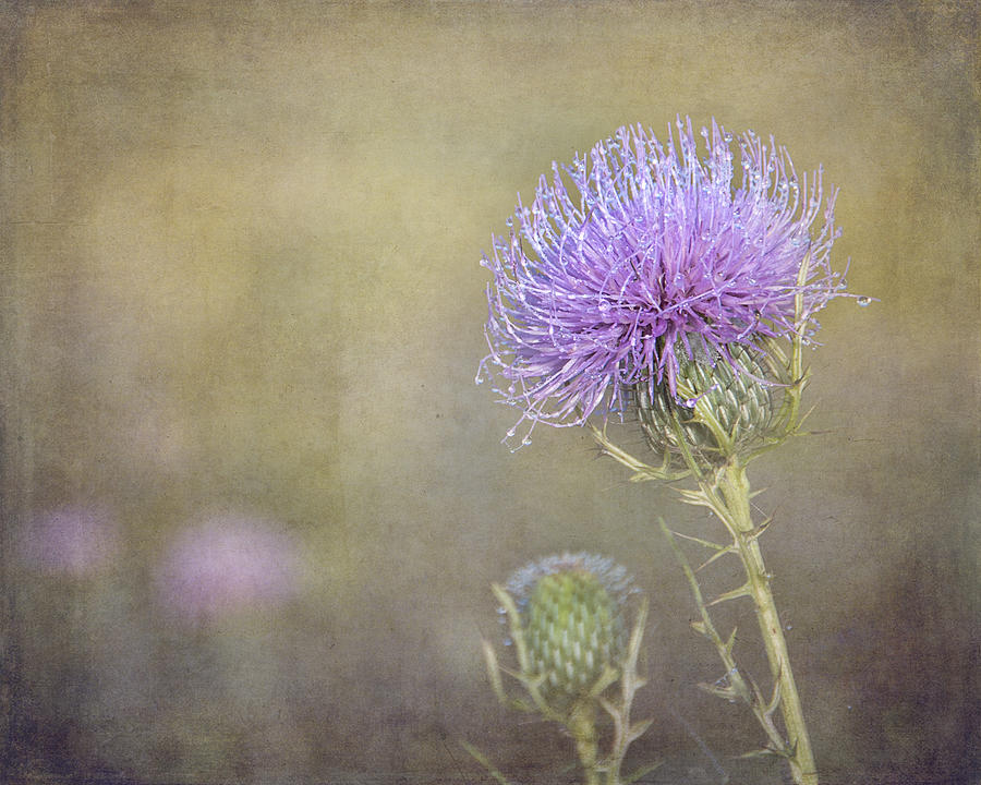 Thistle by Carol Erikson