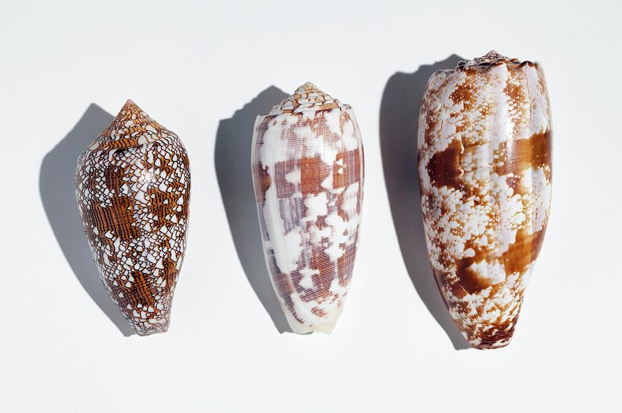 Beneficial Photograph - Three Conus Cone Shells That Can Kill Man by Paul D Stewart