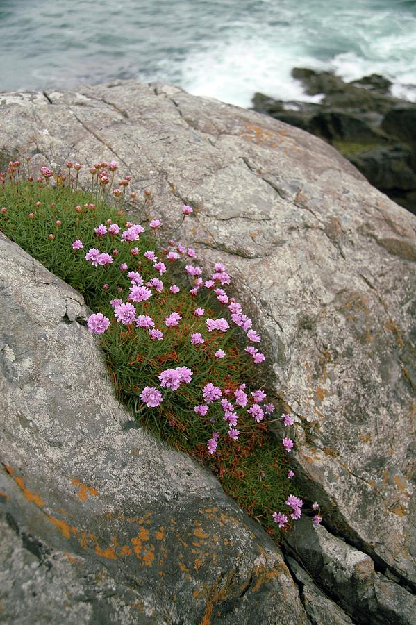 Thrift Photograph - Thrift (armeria Maritima Miller) by Chris Dawe/science Photo Library