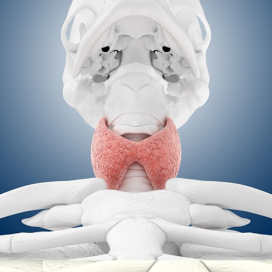 Organ Photograph - Thyroid Anatomy, Artwork by Science Photo Library