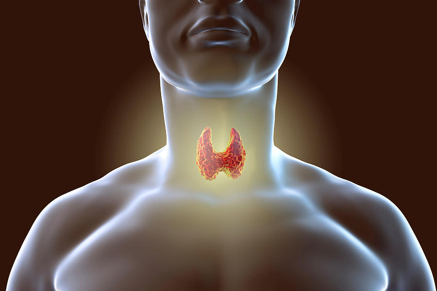 3 Dimensional Photograph - Thyroid Gland by Kateryna Kon/science Photo Library